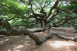 Angel Oak, John's Island, SC